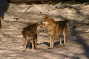 Wolves loving